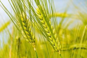 Truyện cổ tích hay về cây lúa mạch